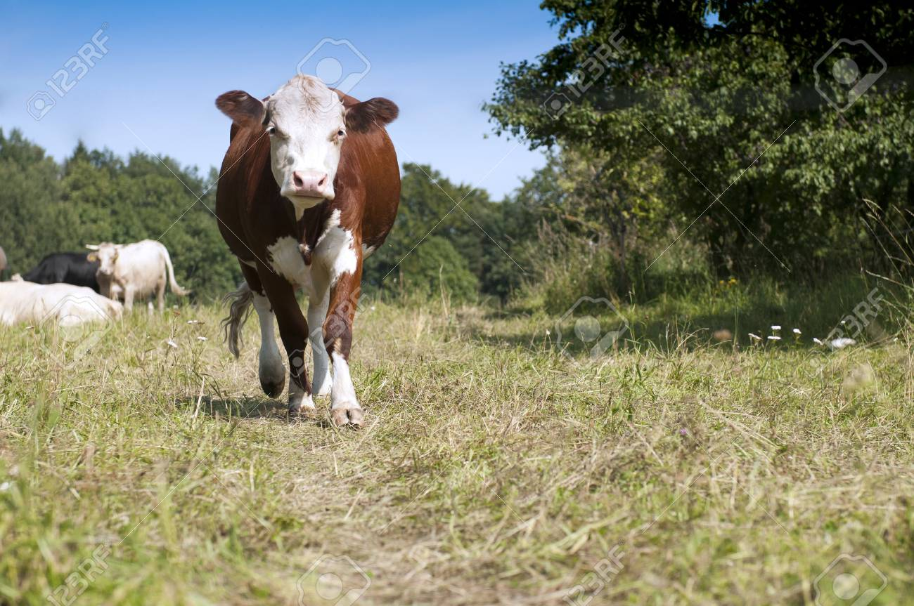 The curious cow on pasture coming to us Stock Photo - 13205210