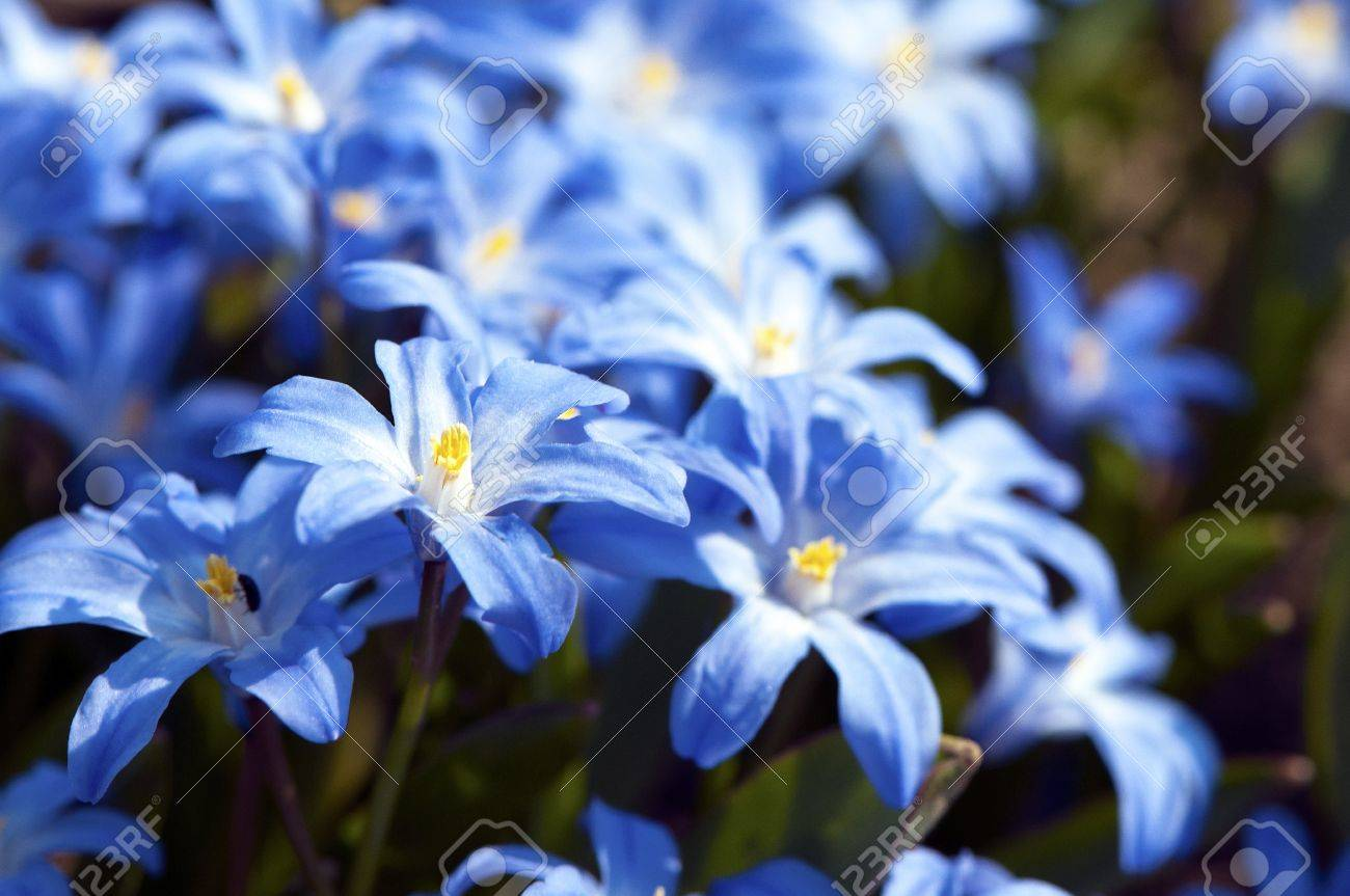 Blue spring flowers two leaf squill or alpine squill stock photo blue spring flowers two leaf squill or alpine squill stock photo 13626007 dhlflorist Choice Image