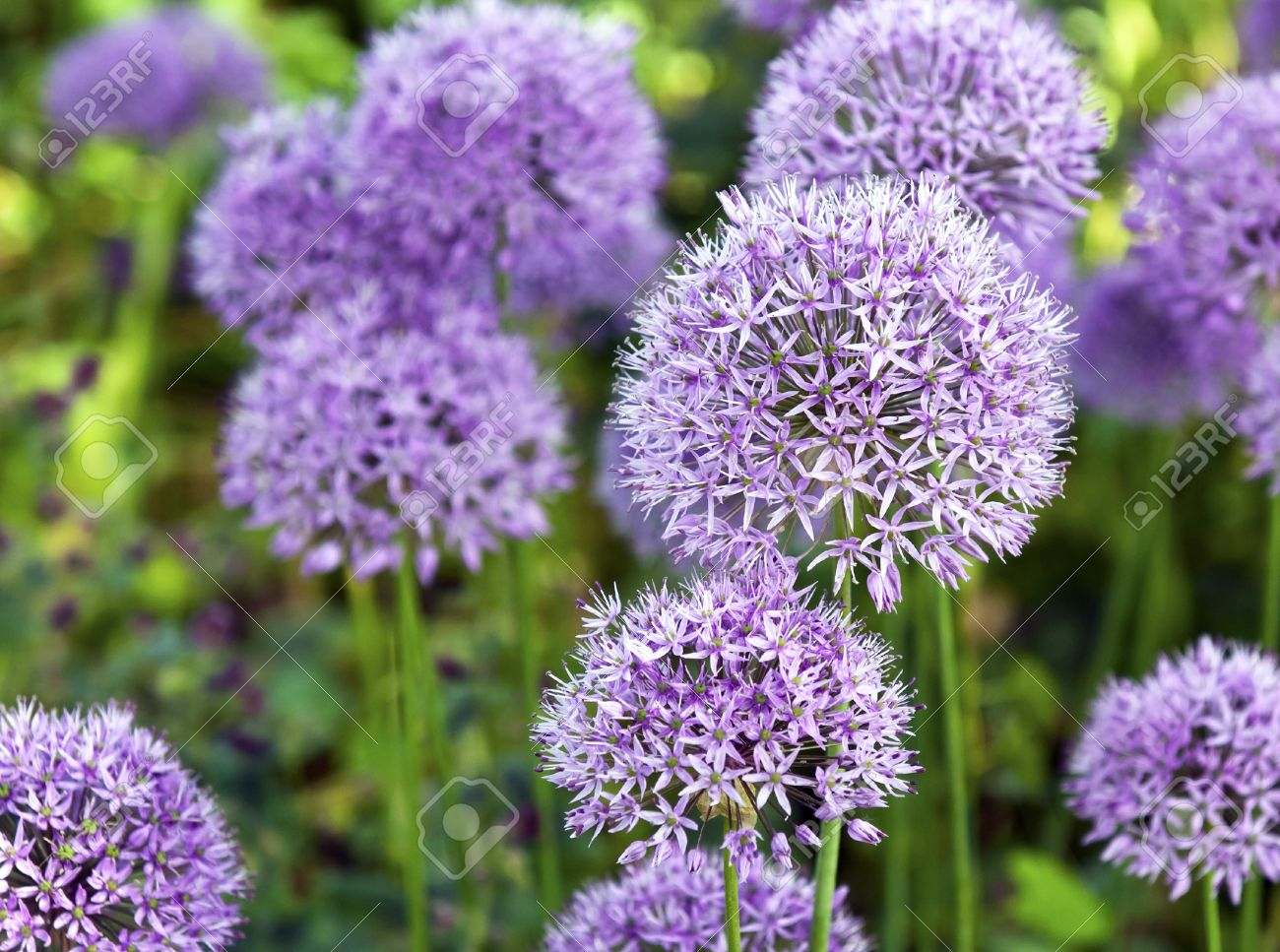 the large purple flowers of ornamental garlic stock photo, picture, Beautiful flower