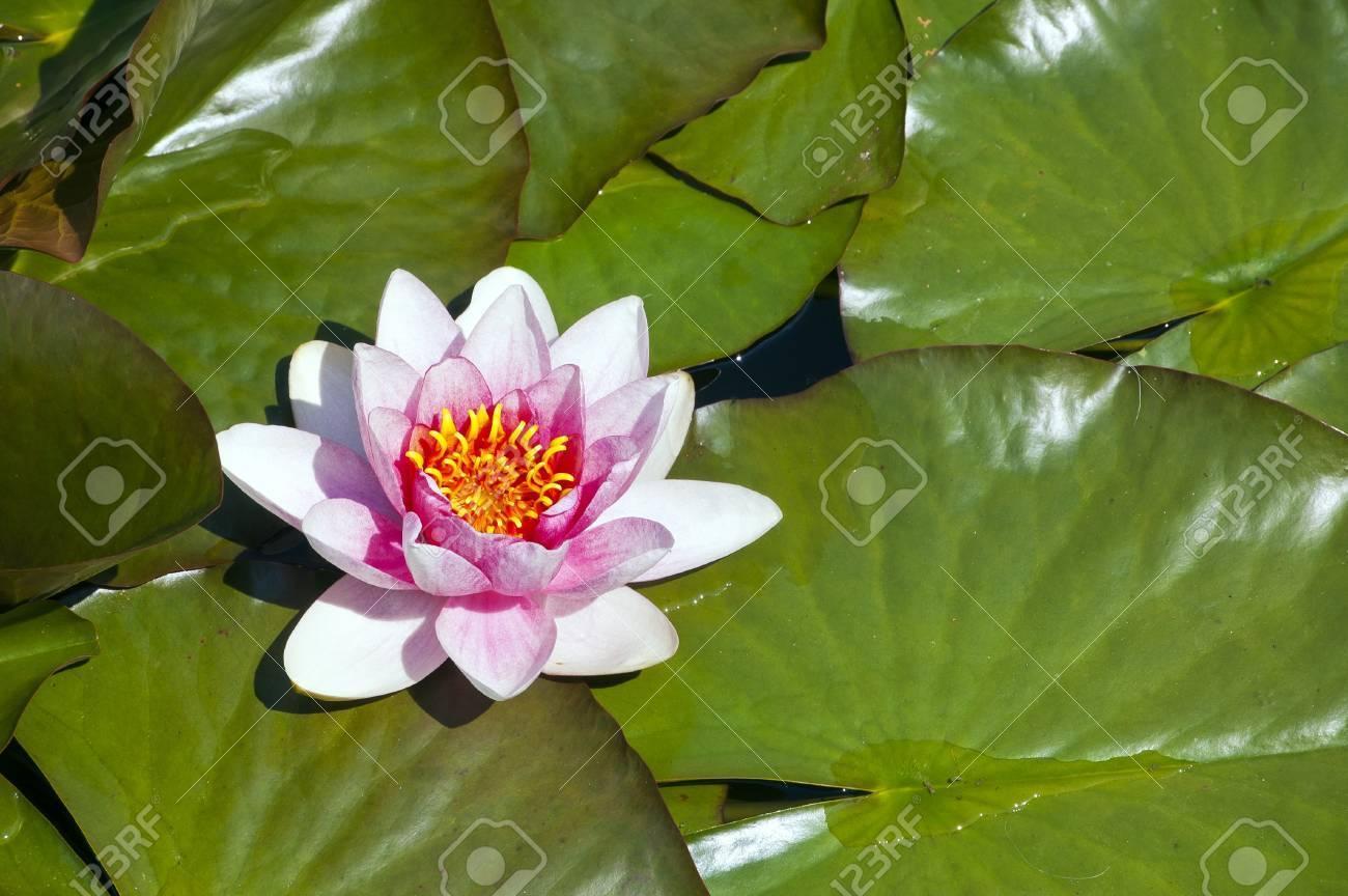 plante aquatique fleur rose