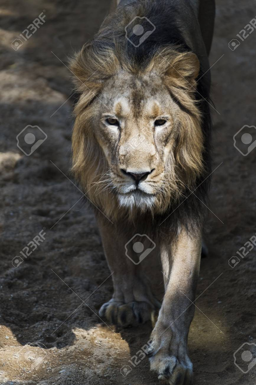 a male lion walking on a path stock photo picture and royalty free