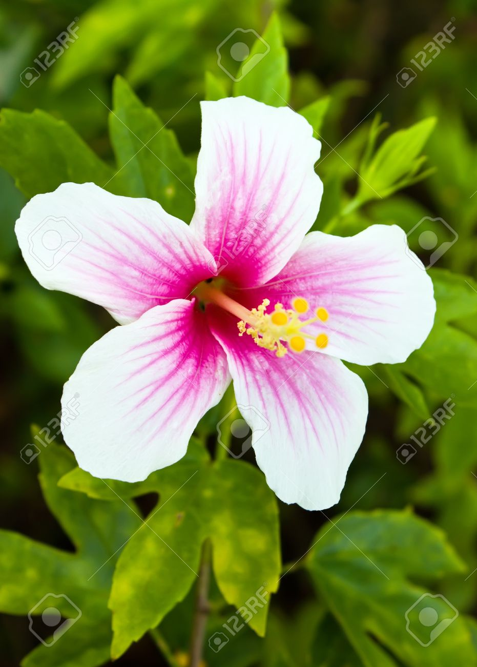 Pink And White Hibiscus Flower In Garden Stock Photo Picture And