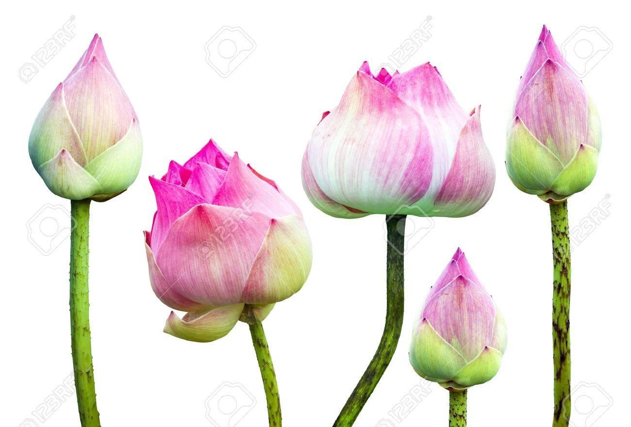 Fleur De Lotus belle fleur de lotus rose isolé sur fond blanc banque d'images et