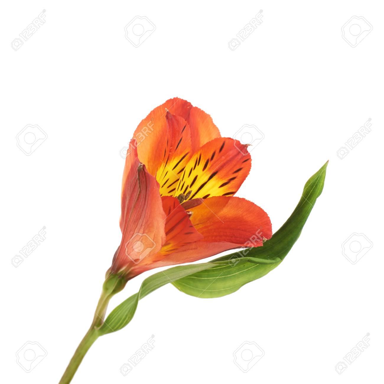 Red alstroemeria or peruvian lily flower isolated over the white red alstroemeria or peruvian lily flower isolated over the white background stock photo 93871989 izmirmasajfo