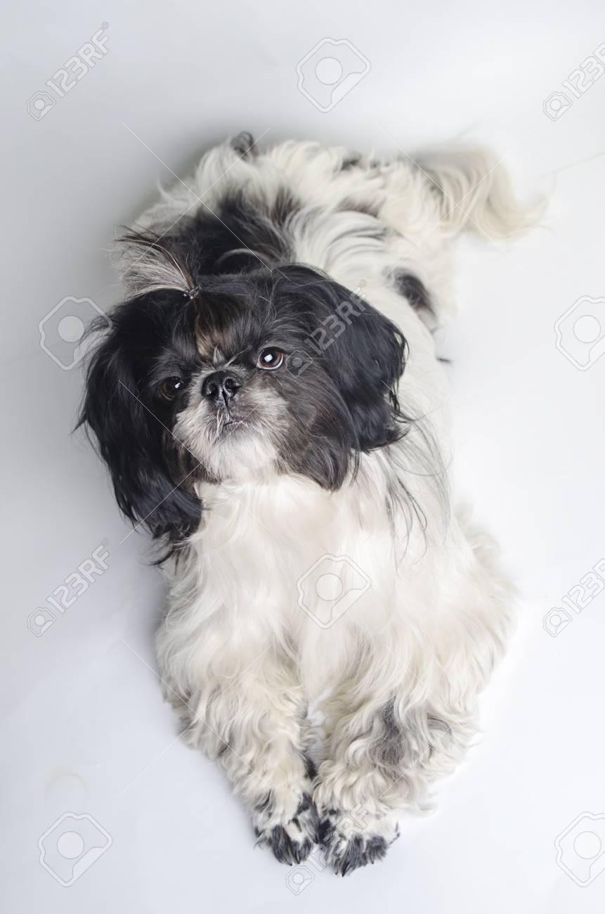 Hundezucht Shih Tzu Auf Einem Weißen Hintergrund Lizenzfreie Fotos