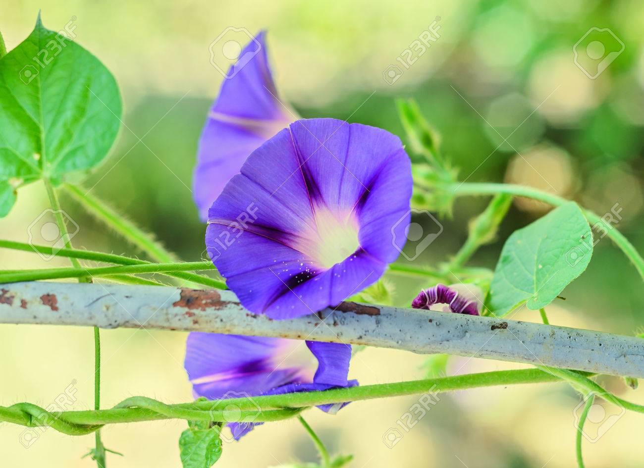 Ipomoea Purpurea Mauve Blue Flower The Purple Tall Or Common
