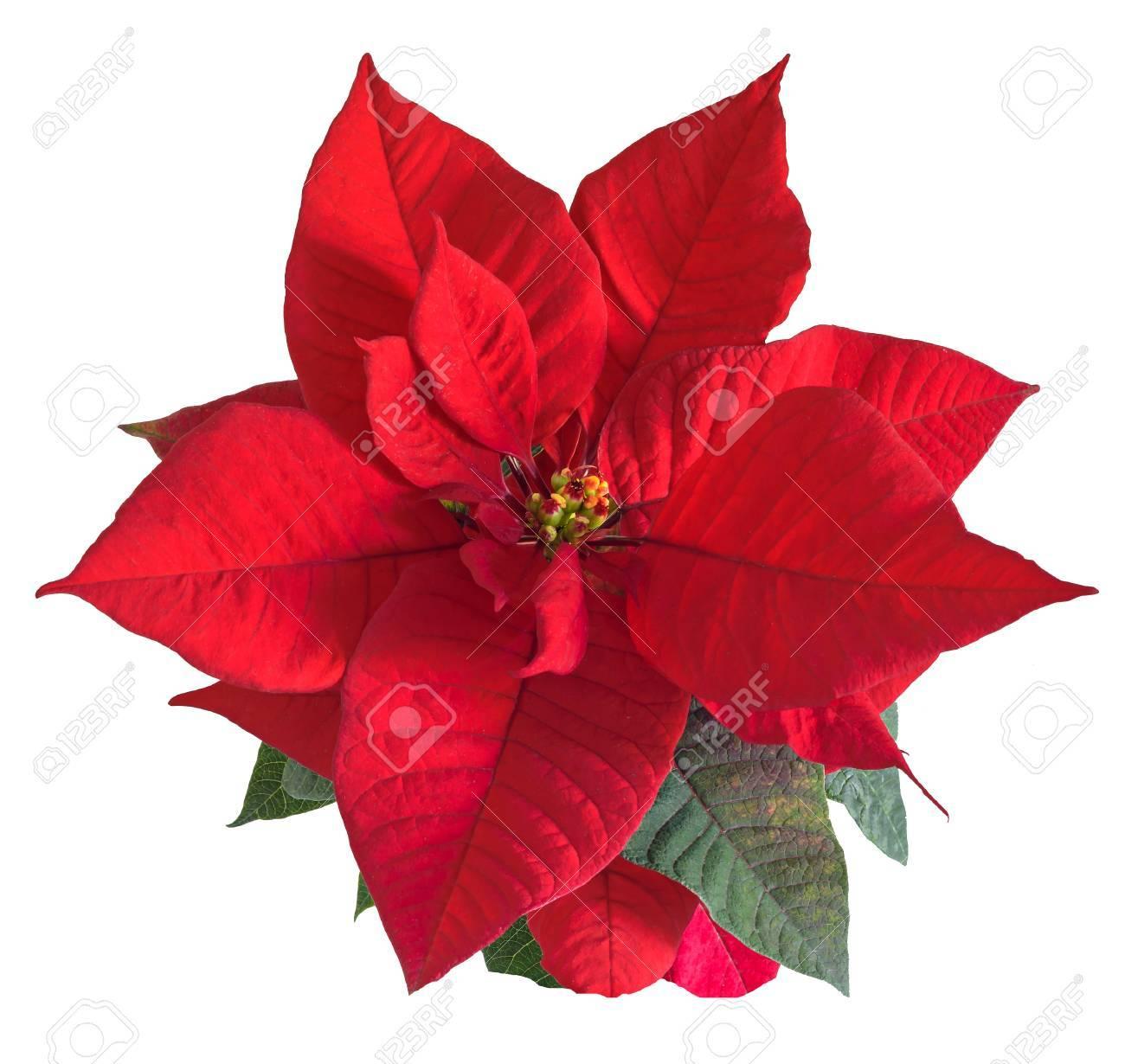 Les fleurs rouges de poinsettia (Euphorbia pulcherrima), la fleur de Noël,  se