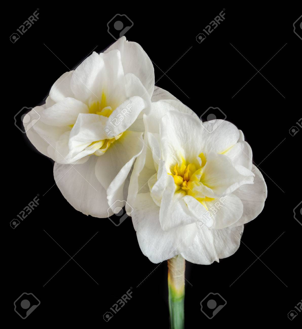 White daffodil flowers narcissus yellow middle pistil close white daffodil flowers narcissus yellow middle pistil close up black background mightylinksfo