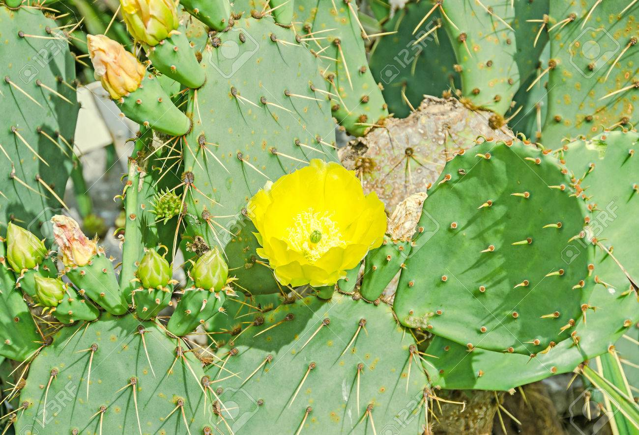 Yellow flower opuntia humifusa the devils tongue eastern prickly stock photo yellow flower opuntia humifusa the devils tongue eastern prickly pear or indian fig cactus flowers close up mightylinksfo