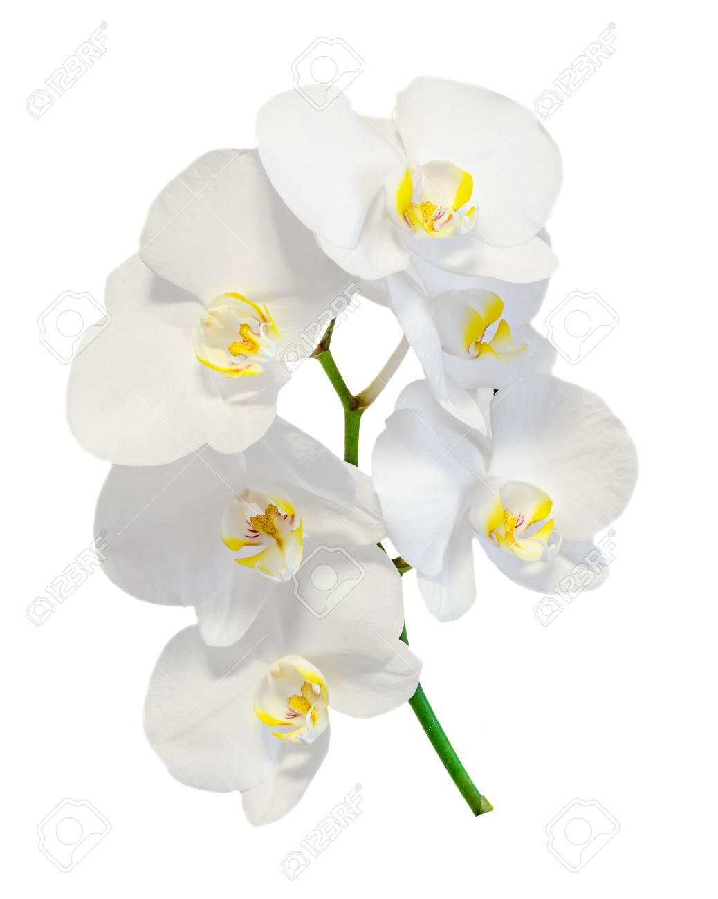 白い蘭の花、ラン、ファレノプシス、胡蝶蘭と呼ばれるには、ポル ...
