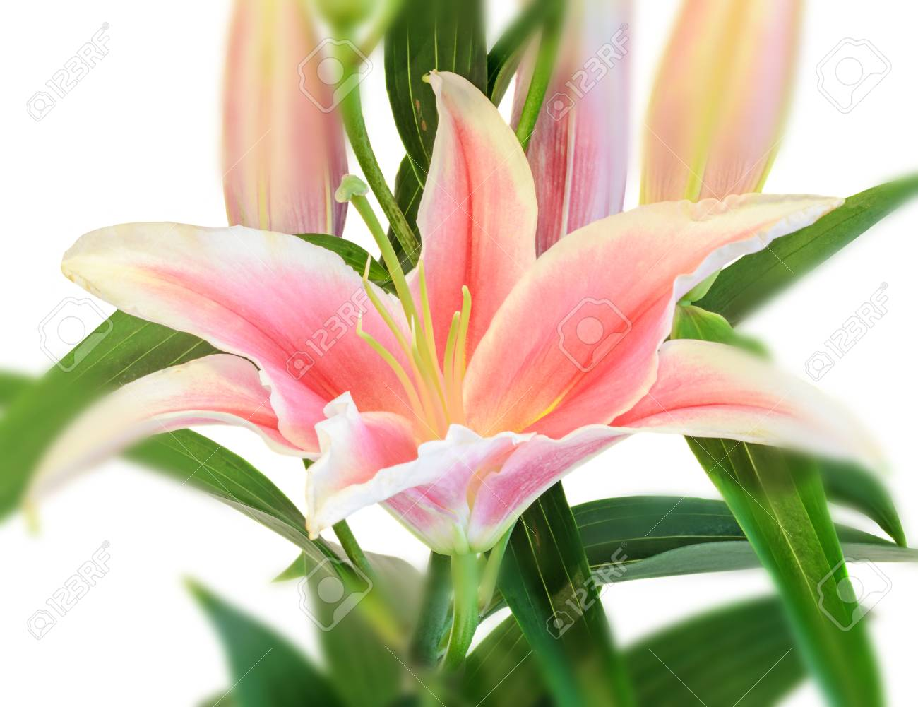 White And Pink Lilium Flowers Lily Lillies Bouquet Floral