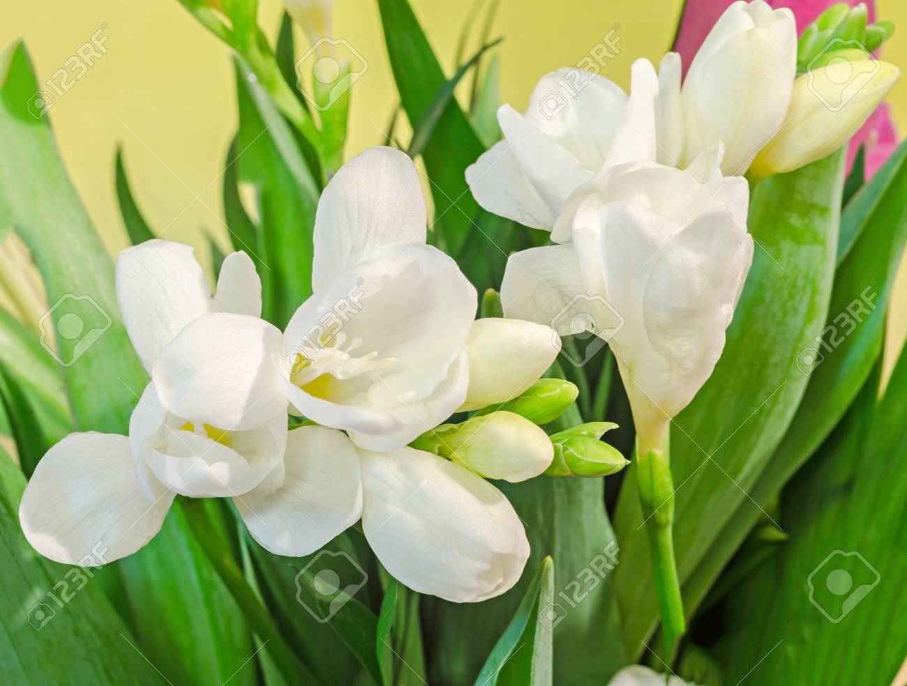 White Freesia Flowers Family Iridaceae Yellow Gradient Bokeh