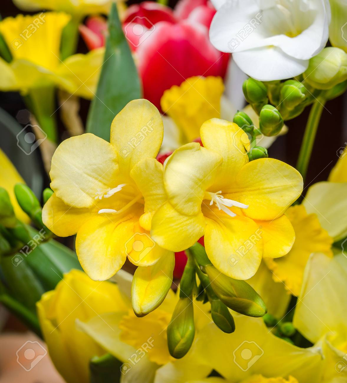 Yellow Freesia Flowers Close Up Floral Background Stock Photo