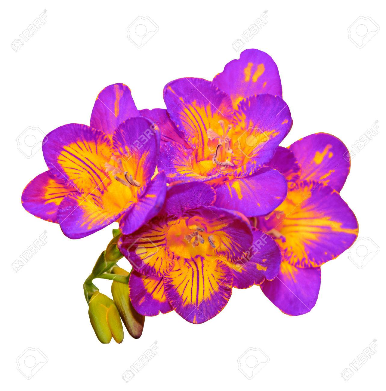 Mauve With Yellow Freesia Flower Green Buds Isolated On White