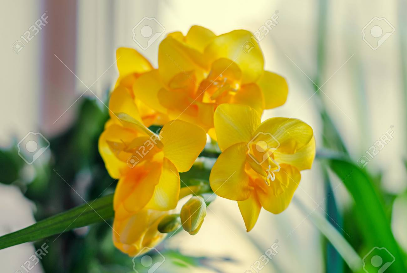 Yellow Freesia Flower Bokeh Background Green Leaves Close Up