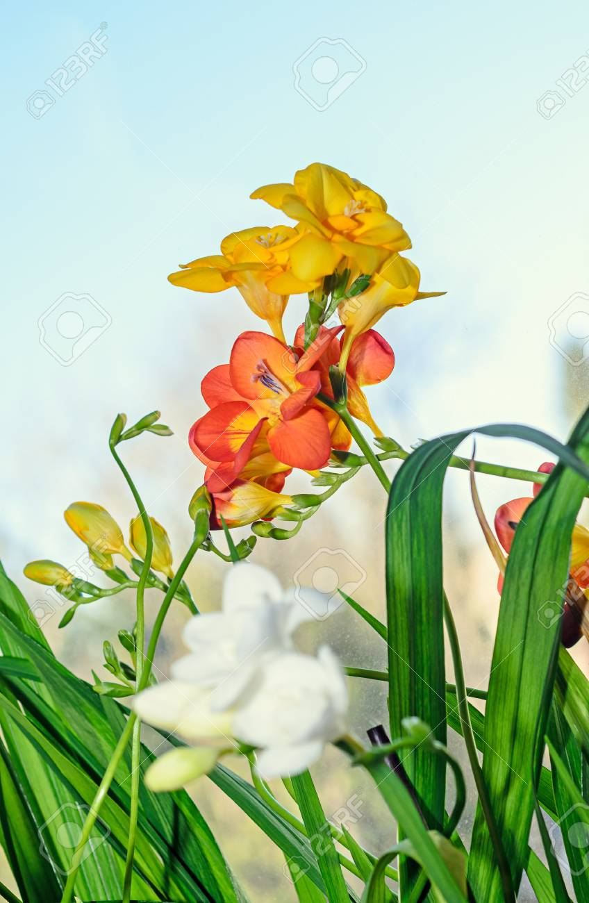 Yellow Red And White Freesia Flowers Window Blue Background