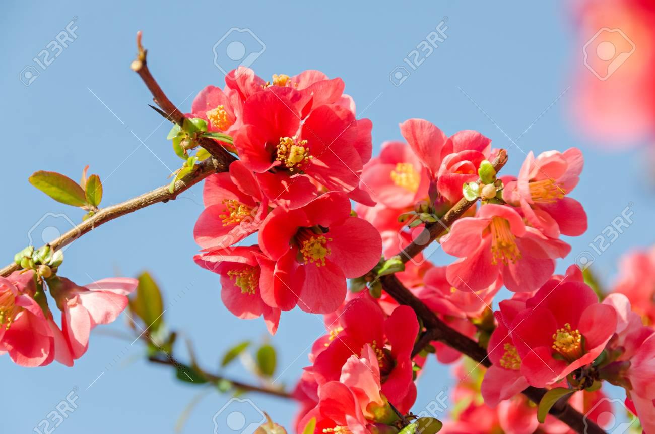 Chaenomeles japonica pink tree flowers maules quince gutuiul chaenomeles japonica pink tree flowers maules quince gutuiul japonez outdoor close up mightylinksfo