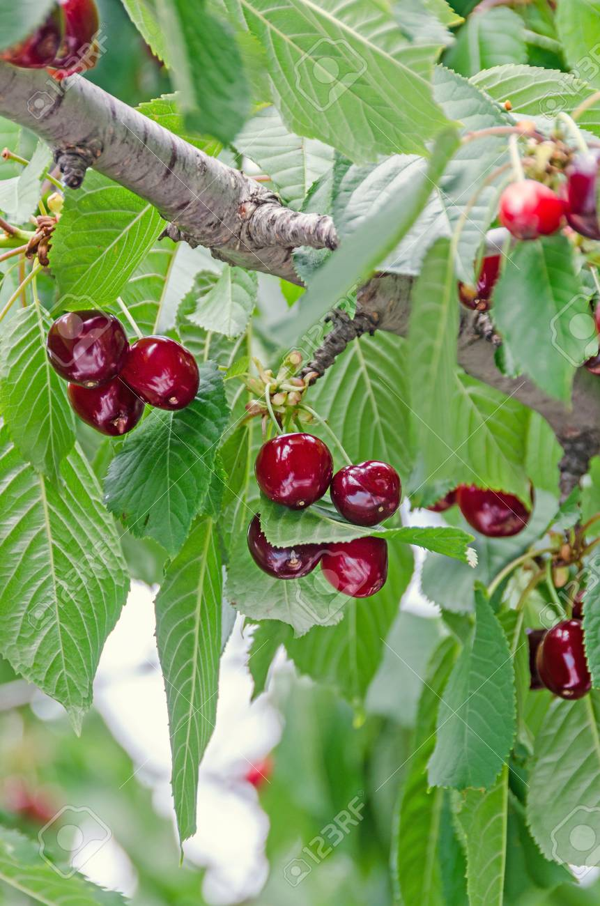 Cherries Fruit Tree Images
