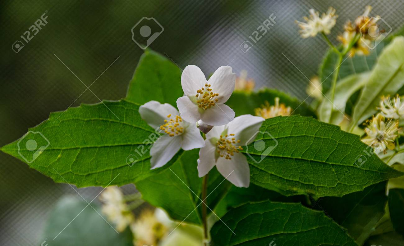 Jasminum officinale common jasmine white flowers bush olive jasminum officinale common jasmine white flowers bush olive family oleaceae stock photo izmirmasajfo