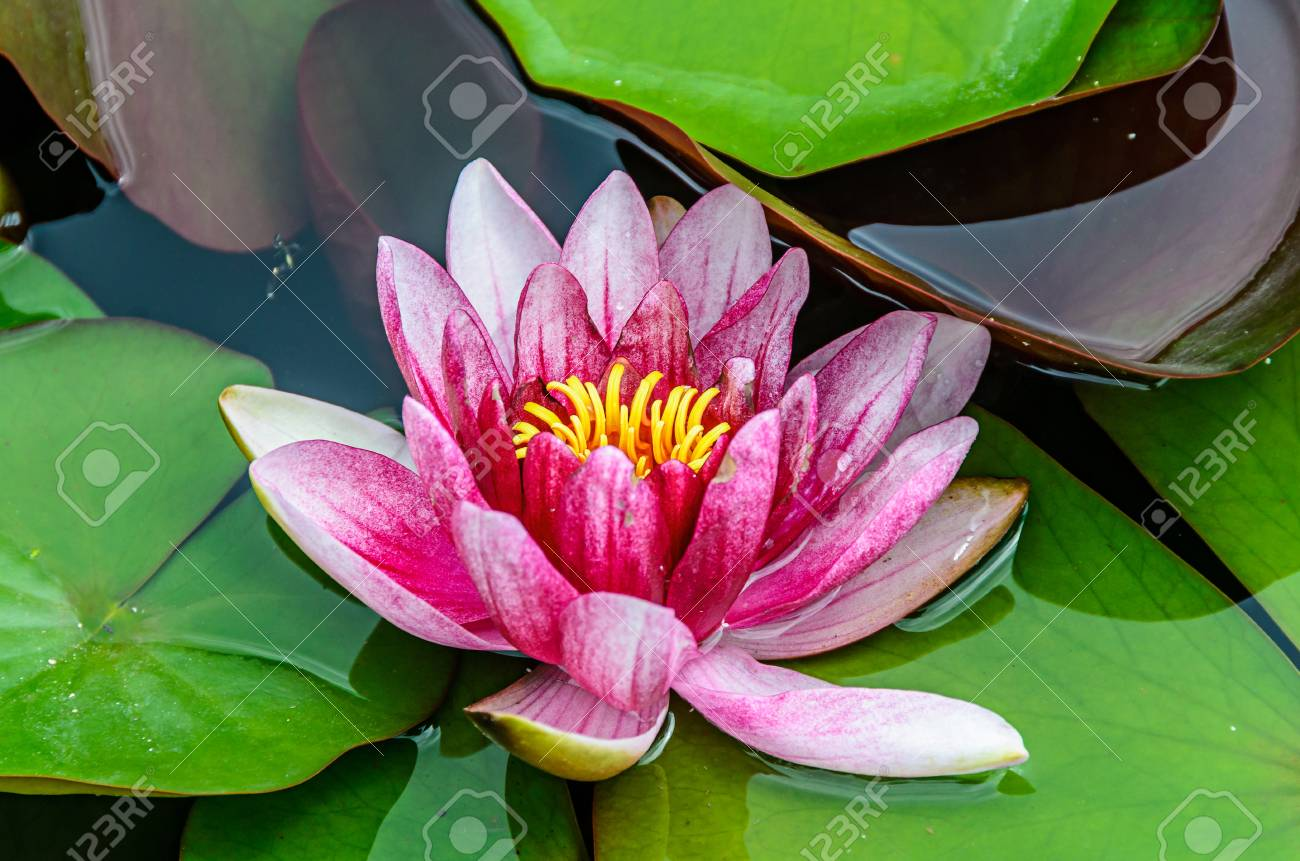 Pink And White Water Lily On The Lake Lotus Flower With Green