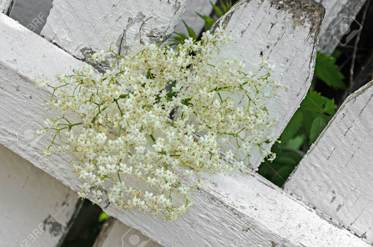 White bunch flowers of sambucus green leafs shrub the various stock photo white bunch flowers of sambucus green leafs shrub the various species are commonly called elder or elderberry wood background mightylinksfo