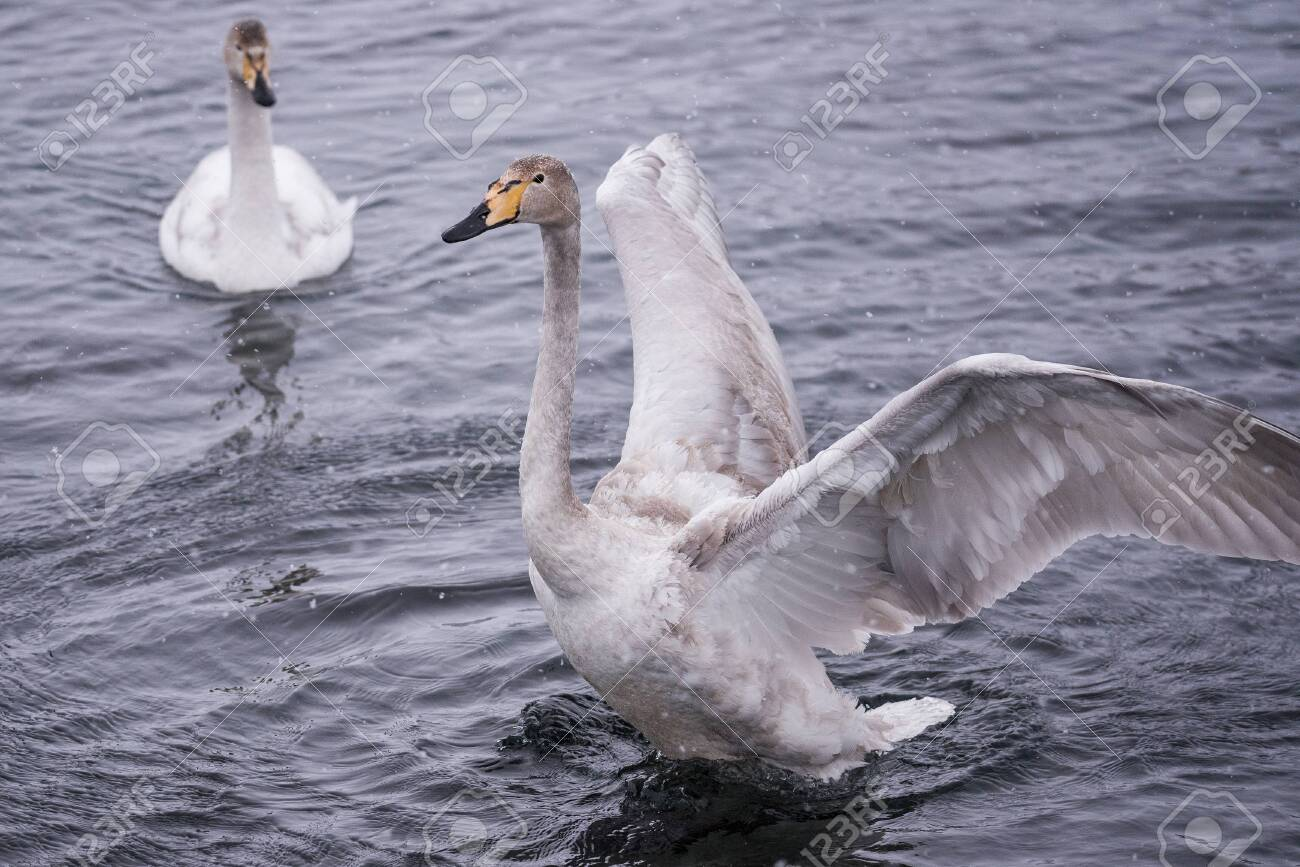 """The swan flaps its wings. Dries wings and shows its dominance. """"Lebedinyj"""" Swan Nature Reserve, """"Svetloye"""" lake, Urozhaynoye Village, Sovetsky District, Altai region, Russia - 129123937"""