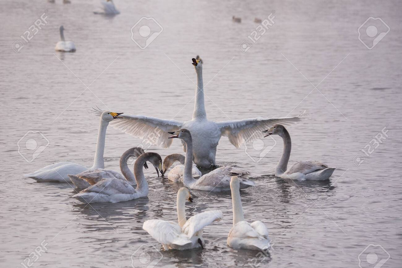 """The swan flaps its wings. Dries wings and shows its dominance. """"Lebedinyj"""" Swan Nature Reserve, """"Svetloye"""" lake, Urozhaynoye Village, Sovetsky District, Altai region, Russia - 129123945"""