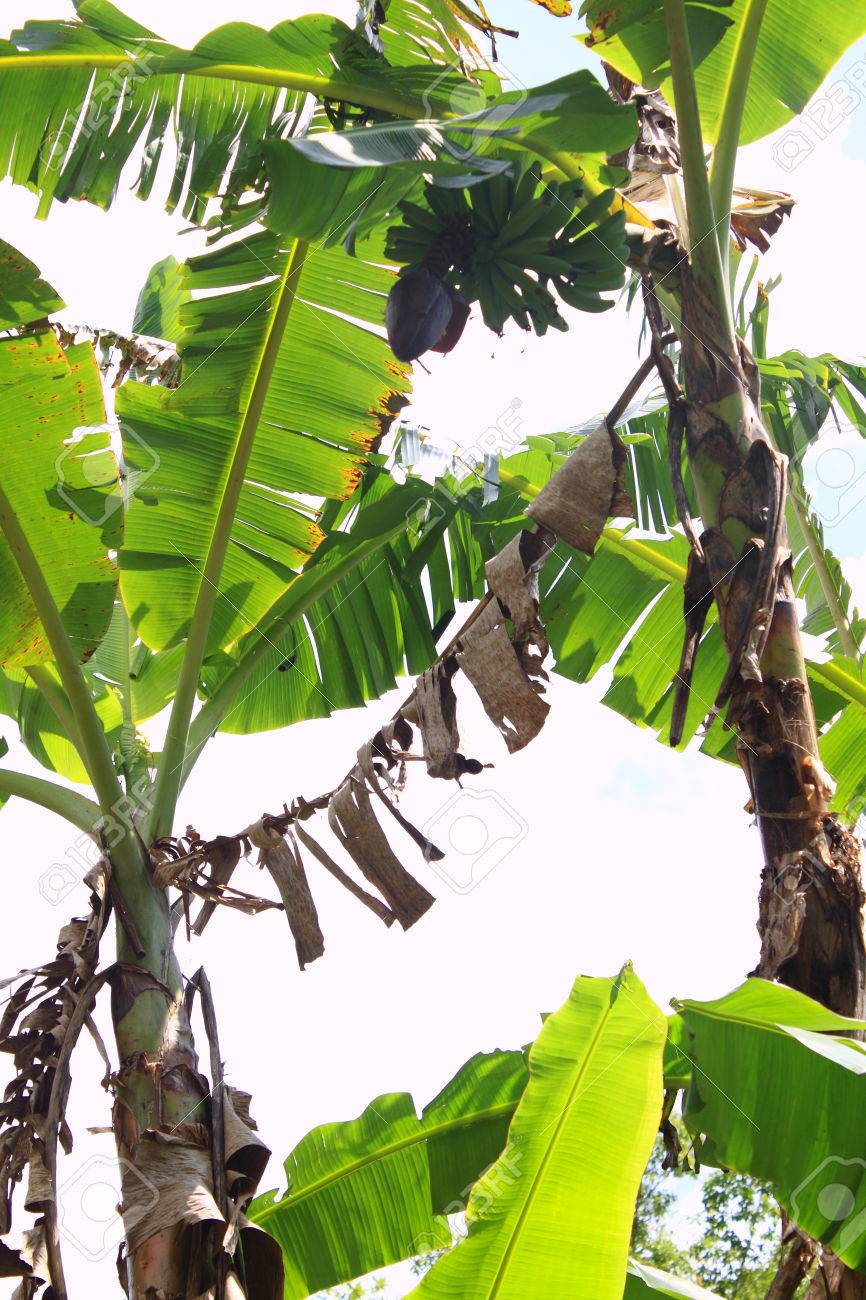 Pictures Of Banana Trees With Fruits