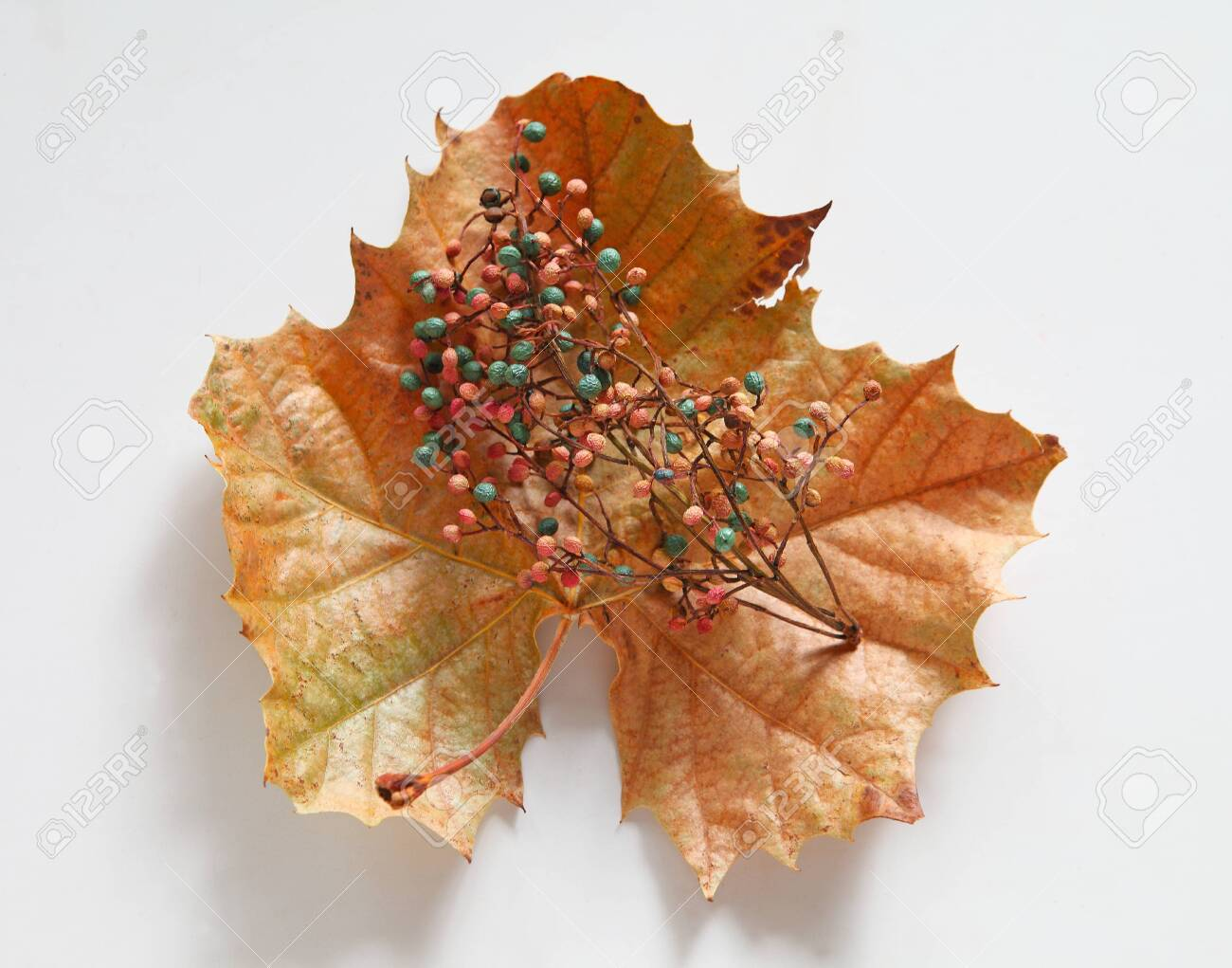 Pale pink and blue berries on a dried sycamore leaf in fall - 141340057
