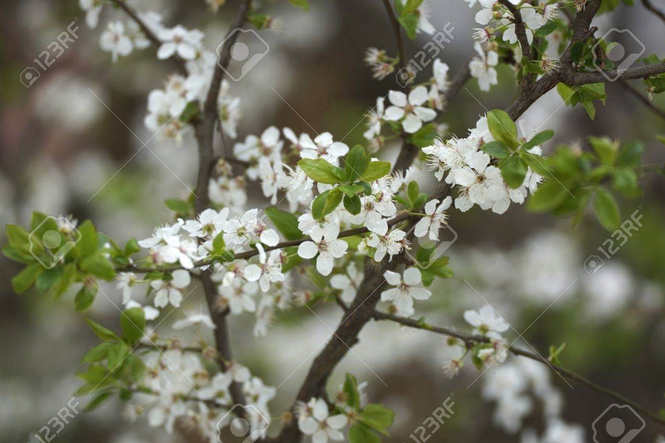 White Flowers Of Fruit Tree Stock Photo, Picture And Royalty Free ...