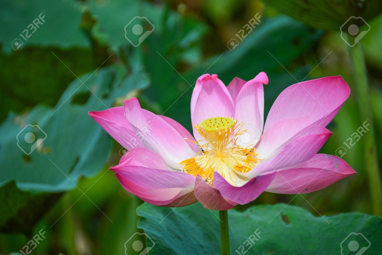 White lotus flower lotus pointed white or punrik called lotus stock photo white lotus flower lotus pointed white or punrik called lotus flowers large oval tapered like a lotus lily varieties izmirmasajfo Images