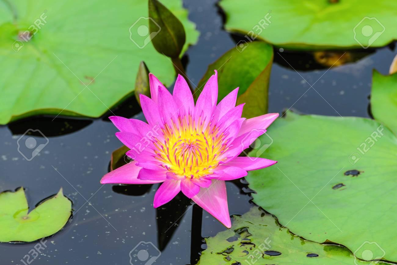 White Lotus Flower Lotus Pointed White Or Punฑrik Called Stock