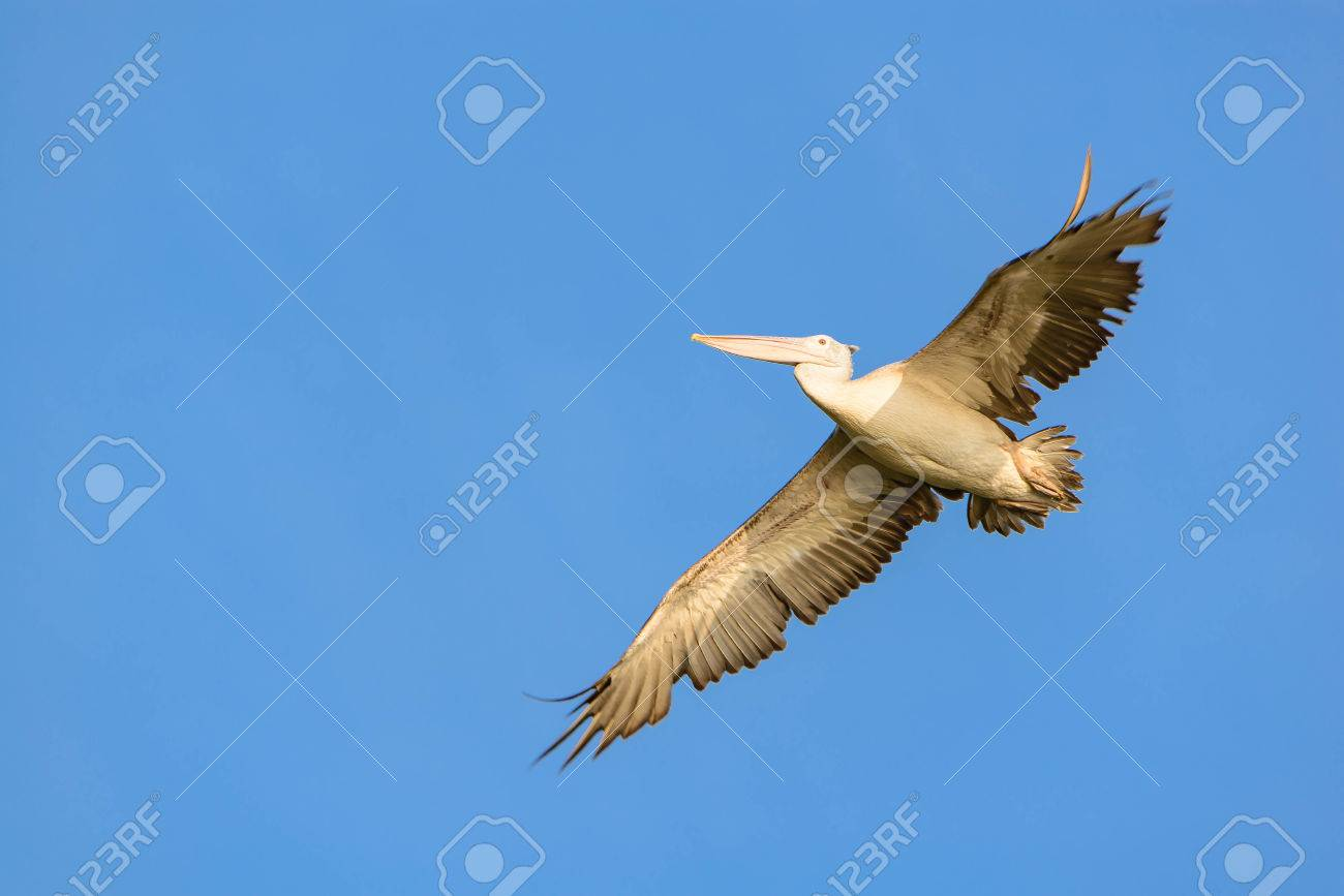 pelicans are large birds from mouth to tail length of about 52 60