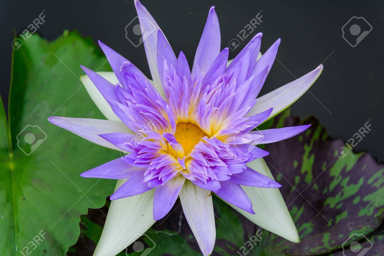 White lotus flower lotus pointed white or punrik called lotus stok fotoraf white lotus flower lotus pointed white or punrik called lotus flowers large oval tapered like a lotus lily varieties izmirmasajfo Images