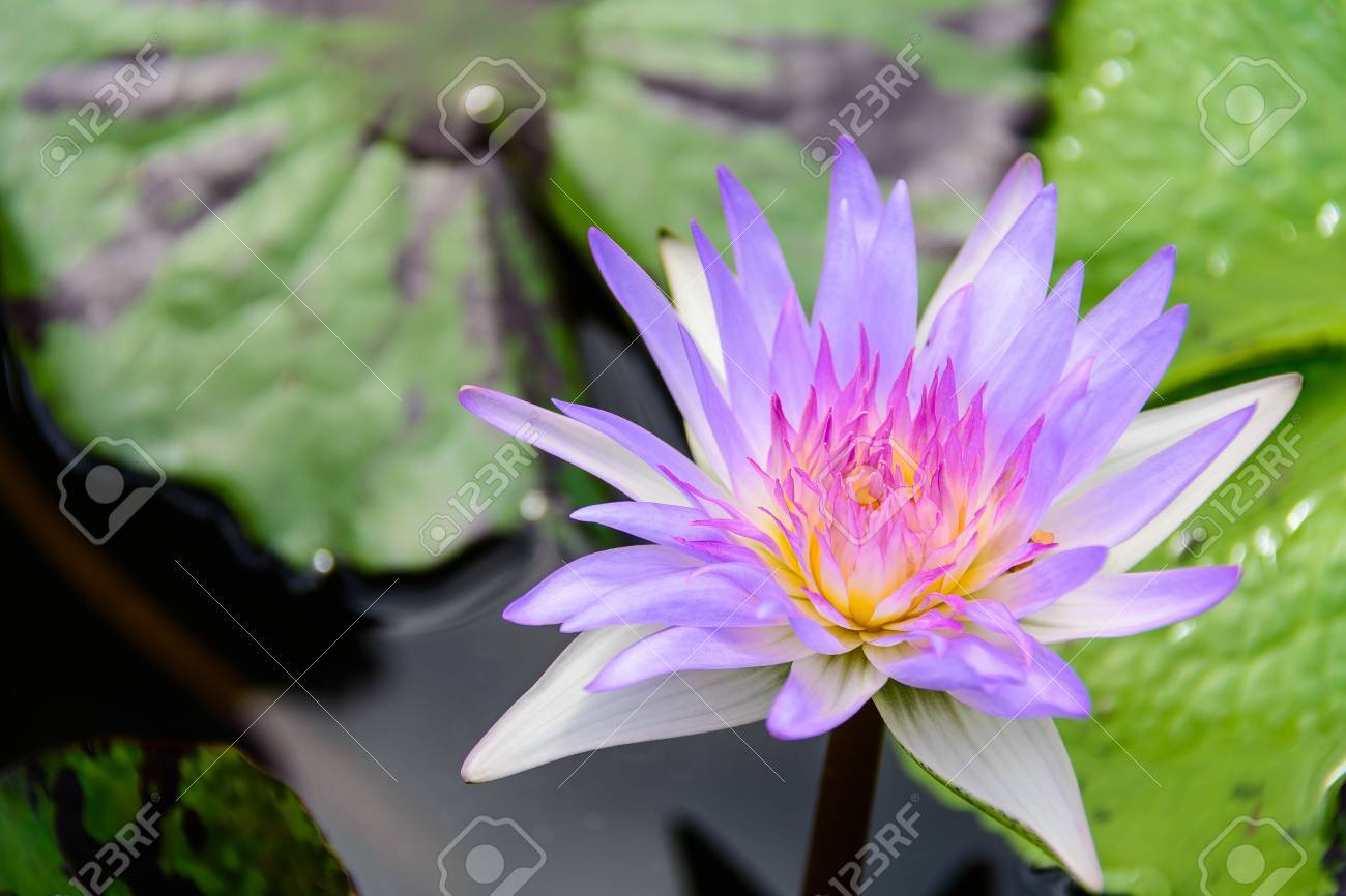 White lotus flower lotus pointed white or punrik called stock stock photo white lotus flower lotus pointed white or punrik called lotus flowers large oval tapered like a lotus lily varieties izmirmasajfo