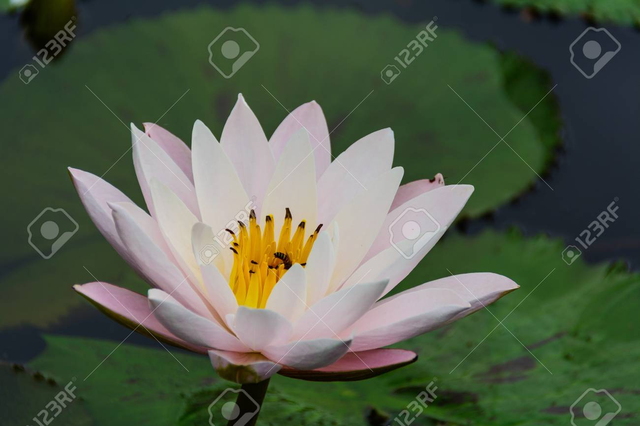 White lotus flower lotus pointed white or punrik called lotus stockfoto white lotus flower lotus pointed white or punrik called lotus flowers large oval tapered like a lotus lily varieties izmirmasajfo Images