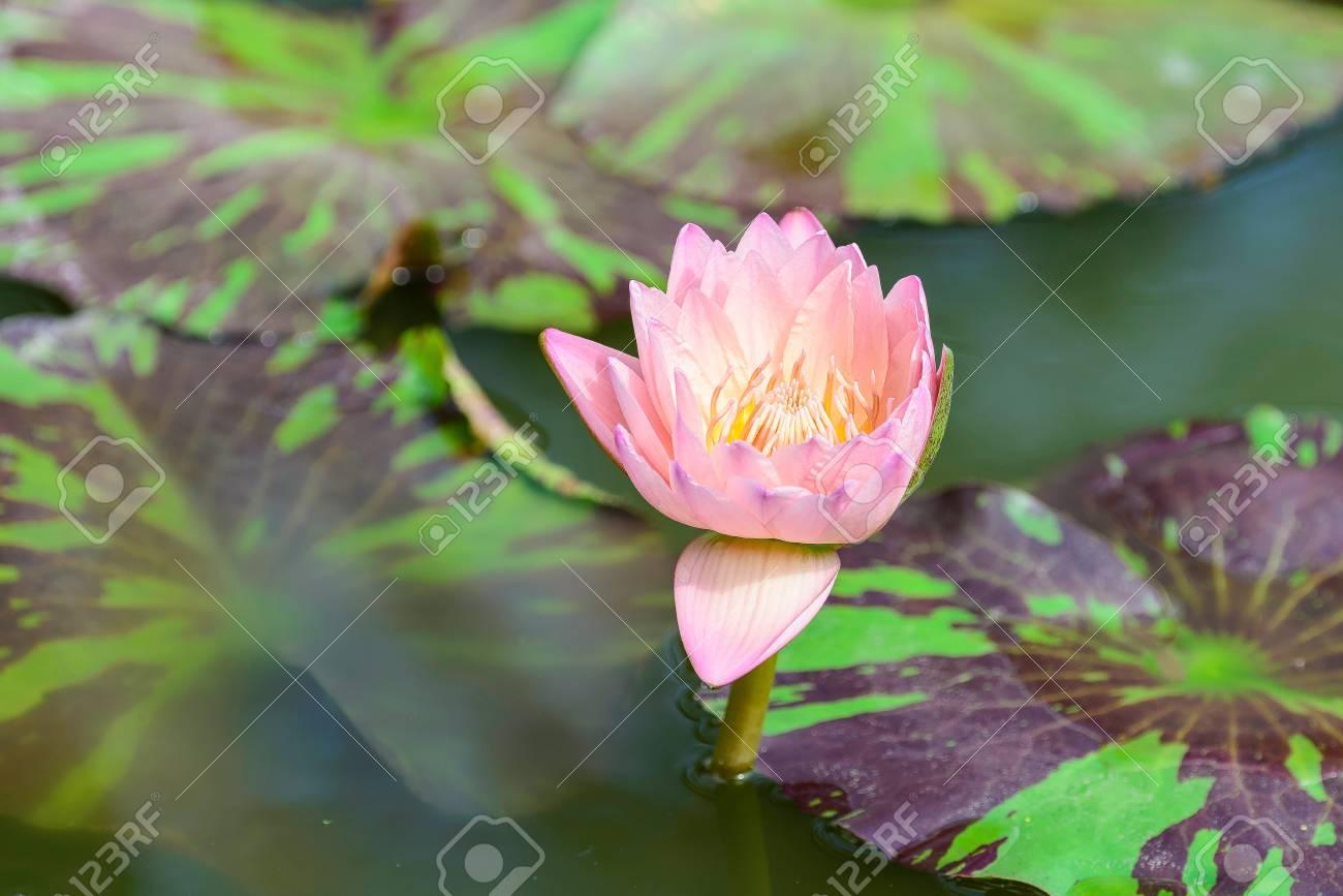 Lotus flower varieties images flower decoration ideas white lotus flower lotus pointed white or punrik called stock stock photo white lotus flower lotus izmirmasajfo Images