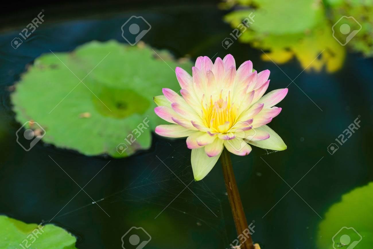 Like a lotus flower image collections flower wallpaper hd like a lotus flower choice image flower wallpaper hd like a lotus flower choice image flower izmirmasajfo