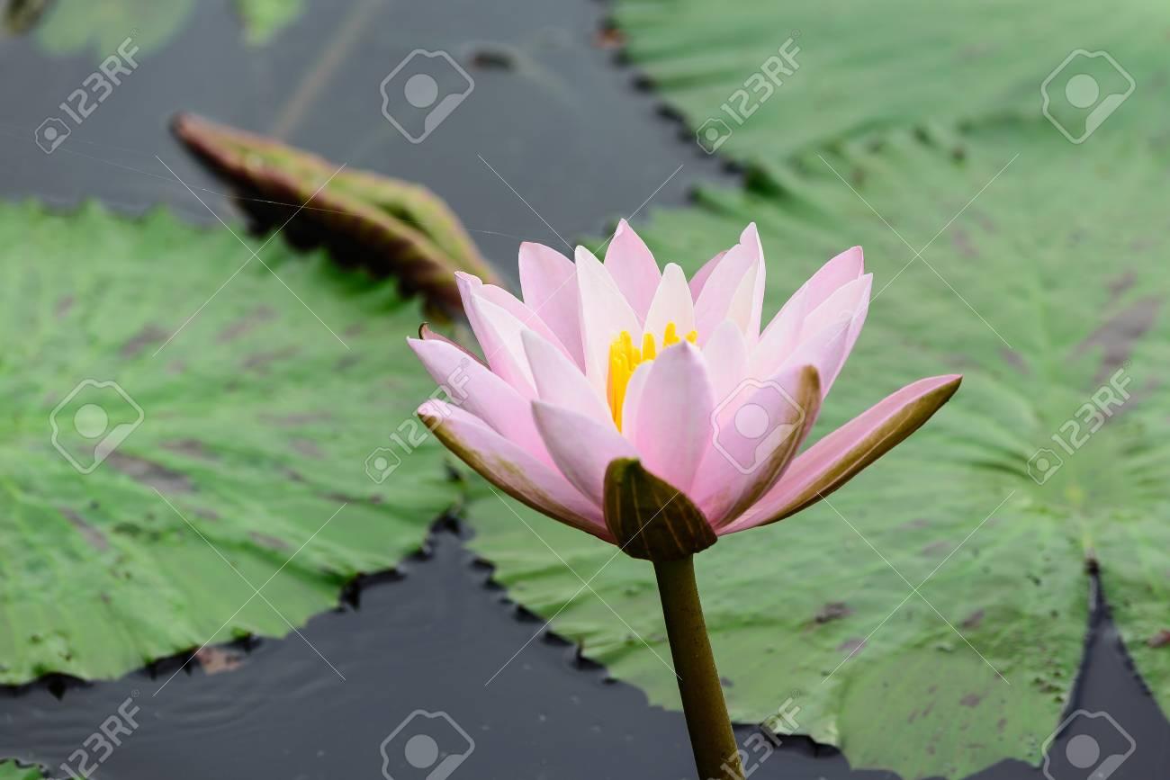 White lotus flower lotus pointed white or punrik called lotus banco de imagens white lotus flower lotus pointed white or punrik called lotus flowers large oval tapered like a lotus lily varieties izmirmasajfo