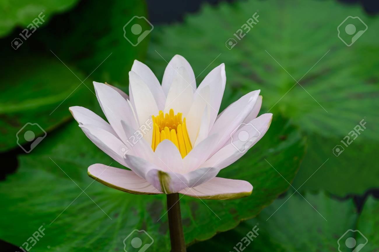 White Lotus Flower Lotus Pointed White Or Punrik Called Lotus