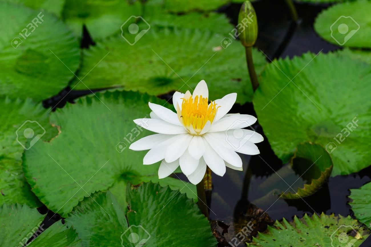 White lotus flower lotus pointed white or punrik called lotus white lotus flower lotus pointed white or punrik called lotus flowers izmirmasajfo Images