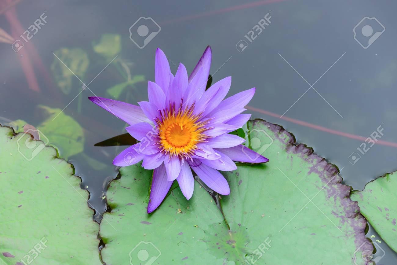 White Lotus Flower Lotus Pointed White Or Punrik Called Stock