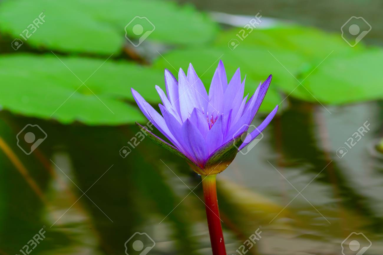 White lotus flower lotus pointed white or punrik called stock stock photo white lotus flower lotus pointed white or punrik called lotus flowers large oval tapered like a lotus lily varieties izmirmasajfo Images