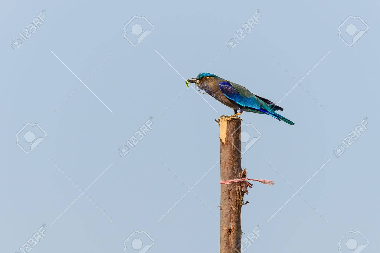 indian roller medium to large birds a body is about 33