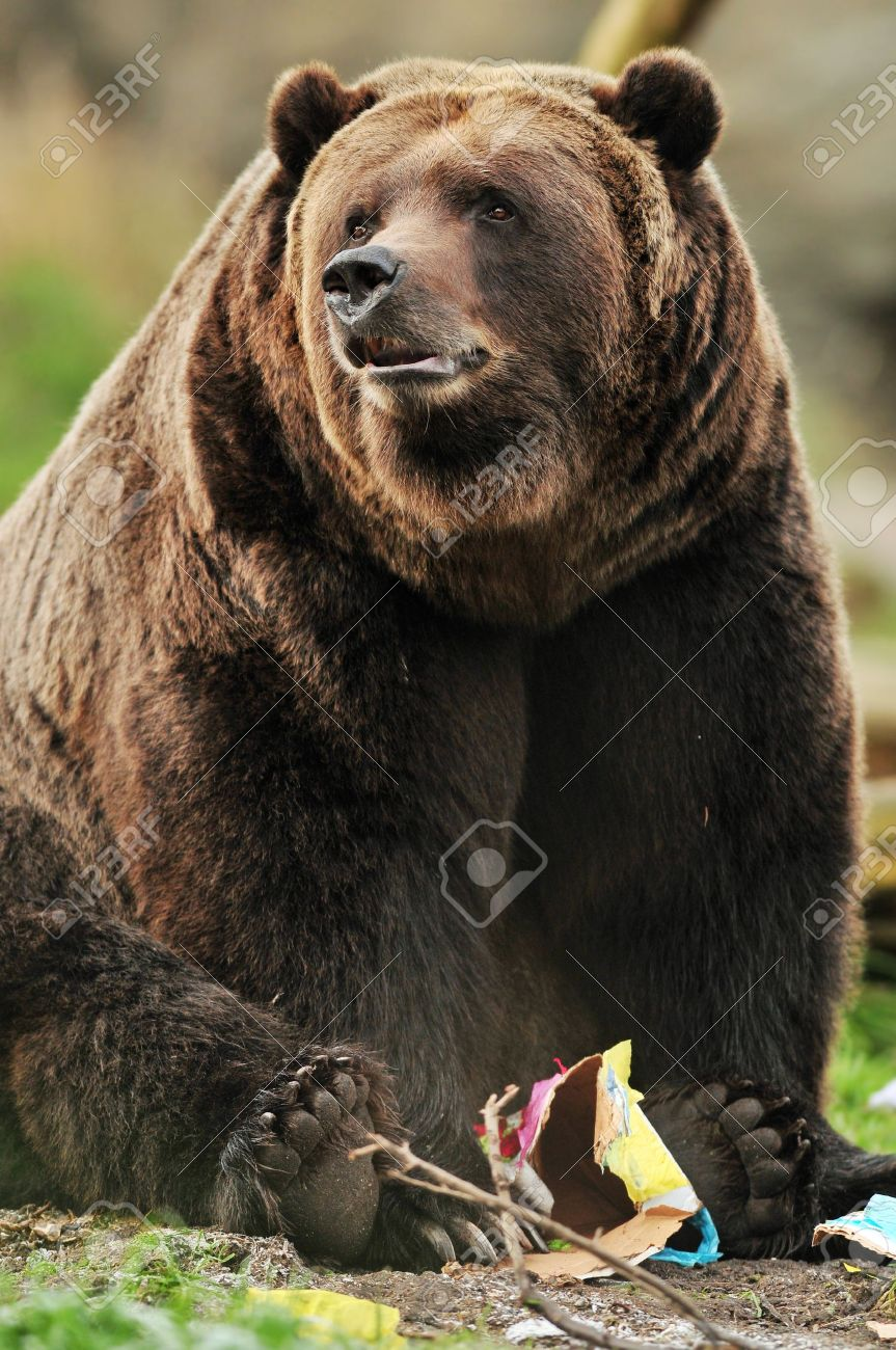 Beautiful portrait of a massive Alaskan Grizzly bear playing with a paper toy Stock Photo - 10101447