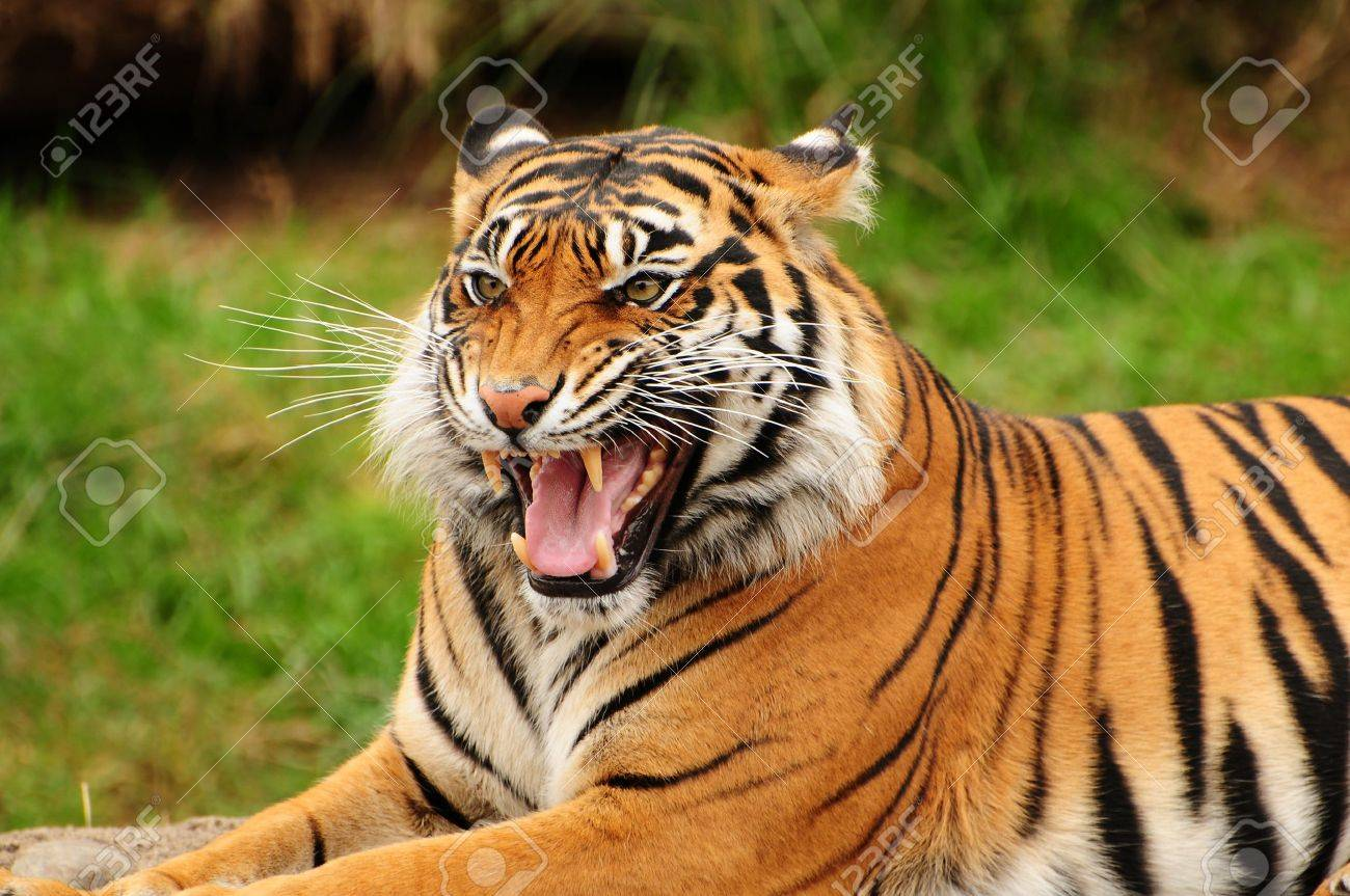 Gorgeous Sumatran tiger threatening its opponent by roaring Stock Photo - 10505529