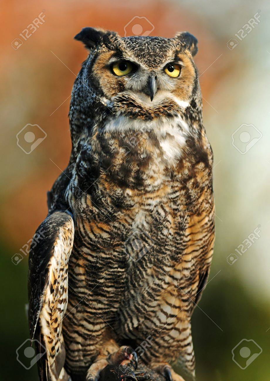Beautiful portrait of the Great Northern Horned Owl over vibrant autumn background Stock Photo - 10541458