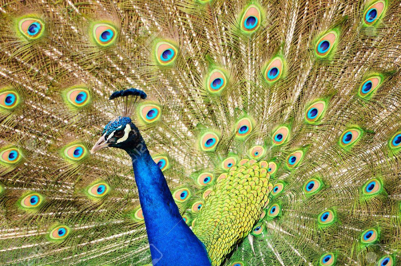 https://previews.123rf.com/images/neelsky/neelsky1109/neelsky110900265/10704519-Closeup-of-a-Peacock-dancing-during-the-mating-season-Stock-Photo.jpg
