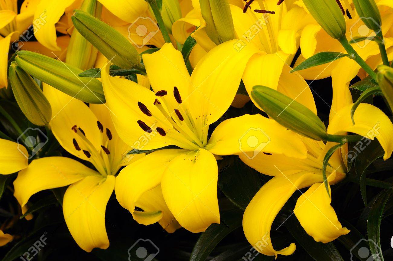 Vibrant yellow colored bunch of asiatic lily flowers stock photo stock photo vibrant yellow colored bunch of asiatic lily flowers mightylinksfo