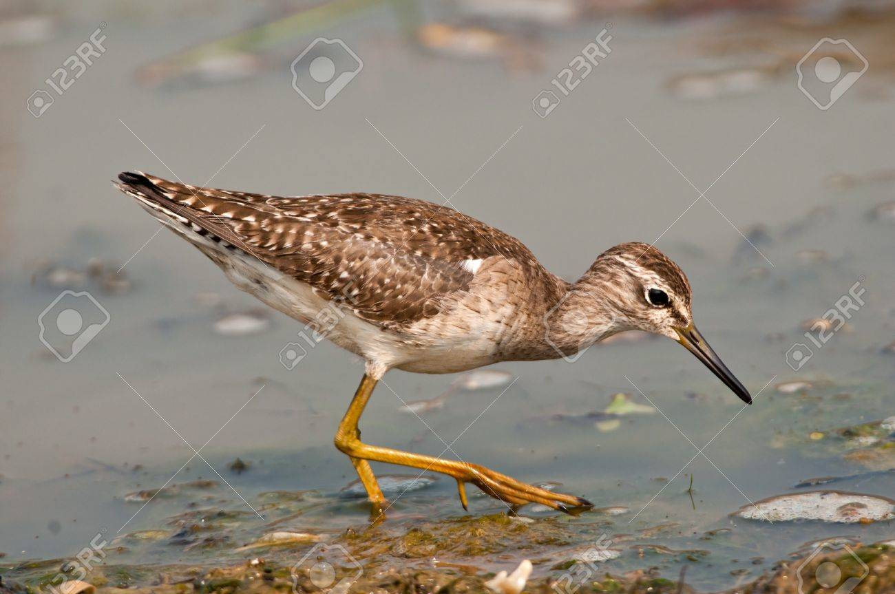 Wood sandpiper searching for food in marshy wetlands at Chilika Lake - 12502328
